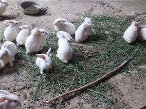 小白兔出售