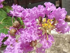 百日�t 紫薇花
