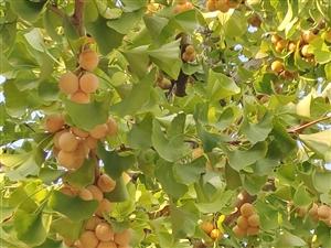 一树擎天银杏黄