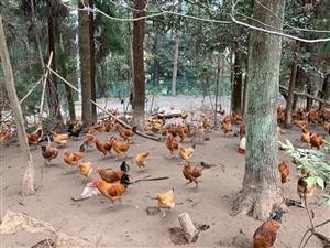 山林散养土鸡