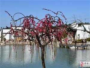 今天下午,朋友们约了一起去傅家边赏梅,游客很多,园内梅花全开放了。