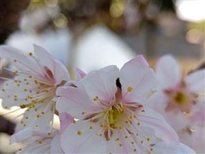 樱桃好吃树难栽。