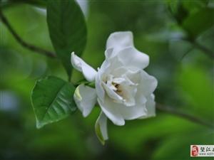 栀子花开,淡淡的清香,纯纯的爱...。