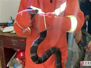 寻乌一大爷家发现一条2米长的眼镜蛇竟然偷鸡蛋,重约10斤眼镜王蛇