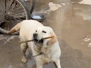 付�M�ぜ��N拉布拉多公犬配�N,家有拉布拉多一年���月大母狗!