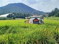 涵水登峰嶂中稻谷开始收割啦