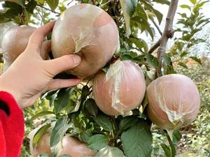 新鲜采摘苹果,二元一斤,量大从优!