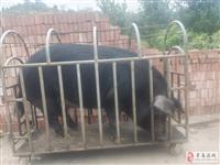 收土猪:猪涨价,有的赶紧卖(要肥猪)