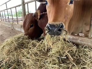 牧草,玉米秸秆,水稻秸秆等牛羊马饲料