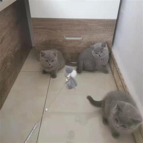 两月大蓝猫弟弟 两只 有兴趣私聊