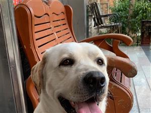 白色大型拉布拉多猎犬丢失