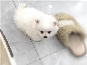 出售博美狗狗一只,身体健康,价格便宜。