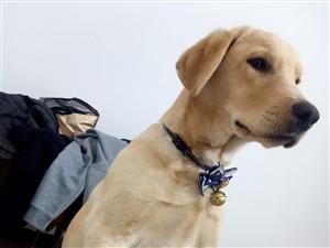 纯种拉布拉多公犬对外配种