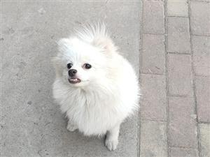 出售博美俊介犬