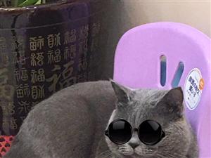 转让一岁半英短蓝猫(公)