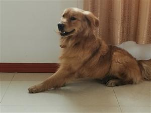 金毛2岁公狗毛色纯体格粗壮配种联系我