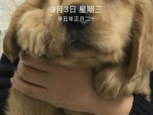出售纯种金毛犬