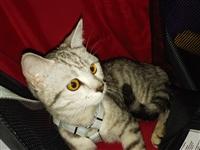 美国美短猫