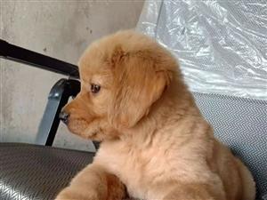 纯种金毛出售