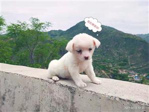宠物狗,很乖的,因家不让养,1200转让