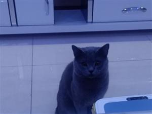 纯血统蓝猫