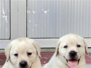 双血统拉布拉多幼犬