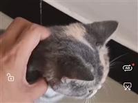 英短三花小母猫