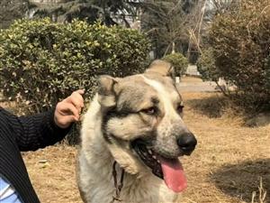 鑫磊土狗养殖场种犬