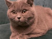 出售英短母蓝猫