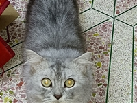 出售金吉拉公猫