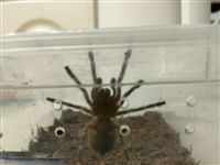 出一只宠物蜘蛛白7状态很好