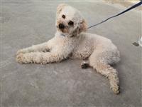 坐标永春城关:香槟色泰迪(迷你体雄性),伴侣犬很粘人没时间照顾!有喜欢的有时间养的便宜出…