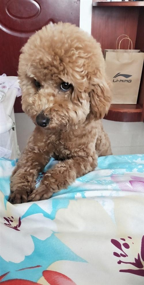 泰迪狗,10个月大。本人要外出上班,无法照顾它,希望爱狗人士收养它。