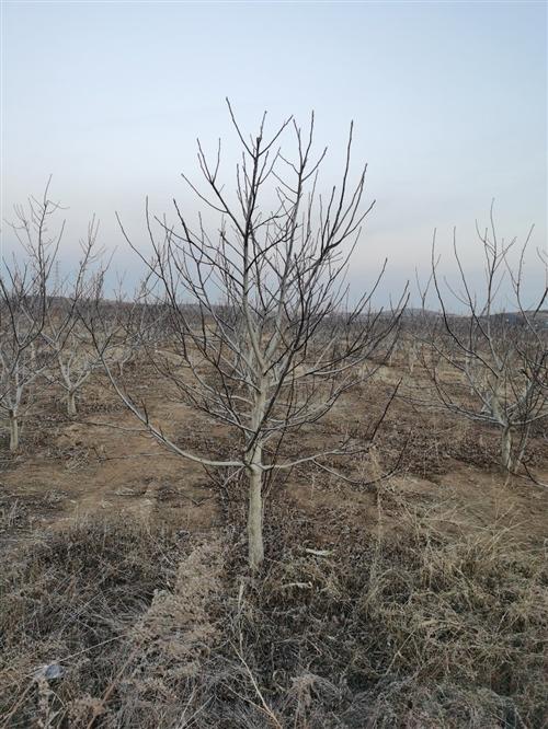 莱阳出售大量6年核桃树,超低价格