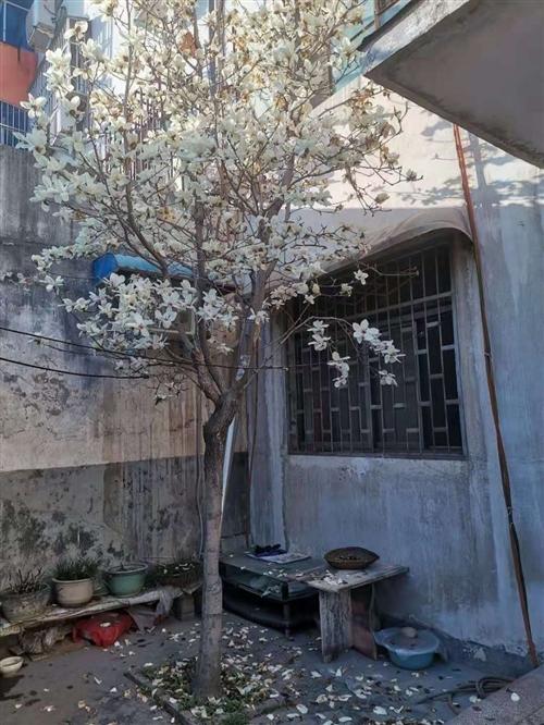 白玉兰树,精心养护,位置在四小学校家属院,15年老树,价格面谈