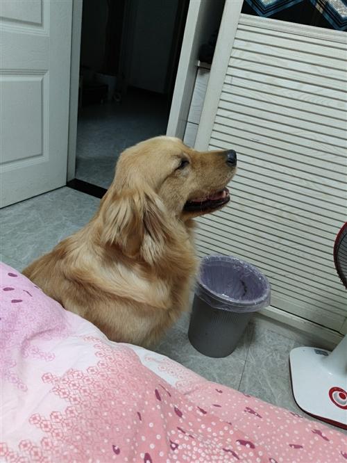 双血统差不多三岁,双血统证书都在。3500买来的时候是幼犬,自己养大的。因家中特殊情况不能再继续养了...