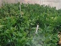 出售一千棵大脐橙苗,宁都买的,没有找到果山卖了,两年苗,价格好说,**能一起都要的!