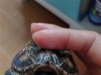 便宜出售鳄龟,30块一只