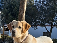 出售,纯/拉布拉多犬8个月,己打完疫苗,狗在大塘可过来看