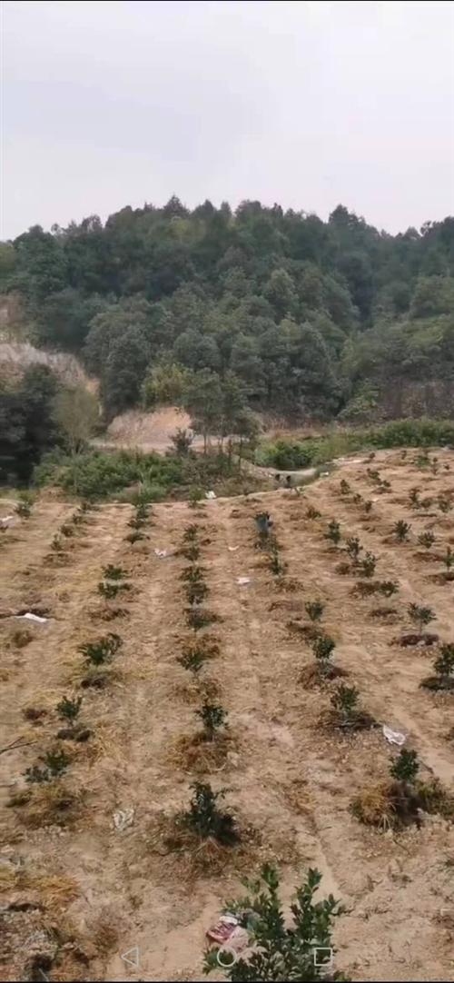 位于上甲柯树塘果山转让,640株脐橙,水电路便利,租金便宜,田地平整好做细
