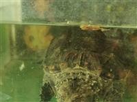 出售佛鳄龟,大小都有可以放鱼缸观赏。不想玩了所以便宜出售,需要的加我微信lwj106y