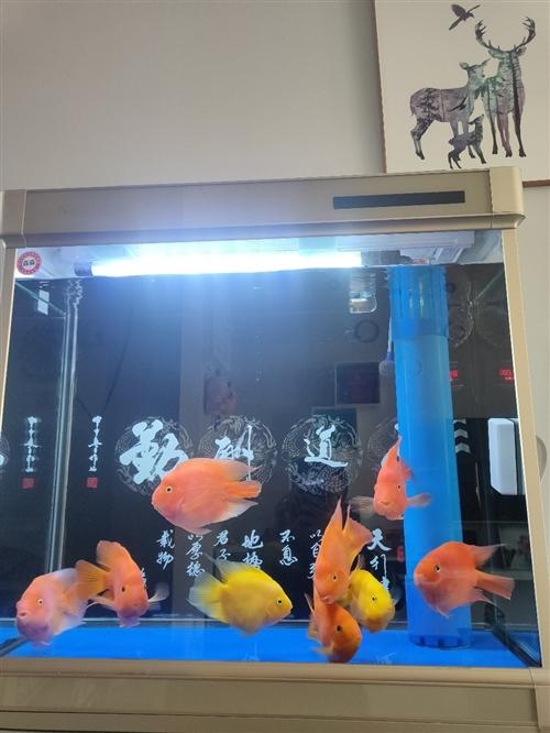 **鹦鹉鱼,有20公分大,6条已经微起头,因无暇顾及,特低价诚心出售,每条60元。