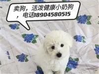 出售自家繁殖比熊最后一只小公500元,电话18945450400微信同号
