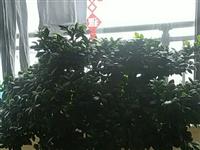 出售榕树盆景一盆,养了17年了,占地方,没地方放了,榕树现长110厘米,宽85厘米,高100厘米,诚...