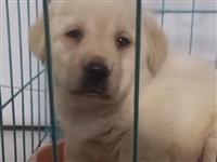 双血统拉布拉多幼犬,已打两针疫苗,赠送狗笼,狗绳,两大包狗粮,益生菌,身体清洁粉,狗梳,饭盒,睡毯,...