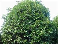 出售桂花树,电话13183632767