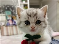 2800在猫舍买的两个月幼猫,本人是小白没耐心不想养了,10号买的,来家今天第八天了,太调皮太活泼了...