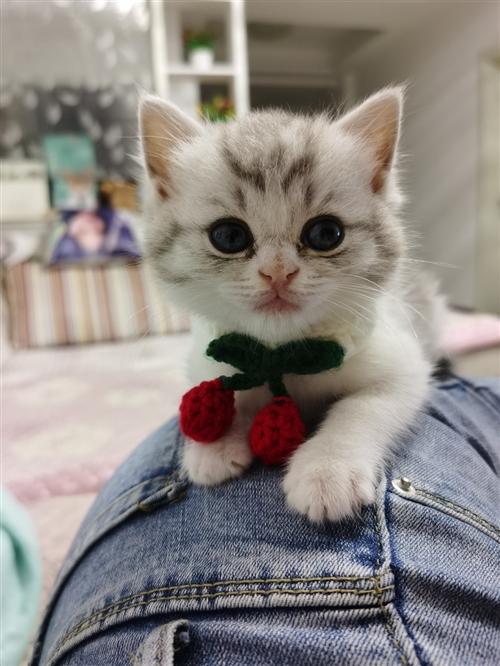 2800在貓舍買的兩個月幼貓,本人是小白沒耐心不想養了,10號買的,來家今天第八天了,太調皮太活潑了...