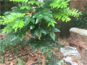 中国名树,宅地**,超大海黄苗,高1米到4米.单价20到110元。同时有超大菠萝蜜苗,2米以上