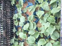 香瓜秧苗,8毛一棵,量大优惠